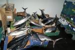 El Ministerio Medio Ambiente interviene 28 atunes rojos en un pesquero de Burriana